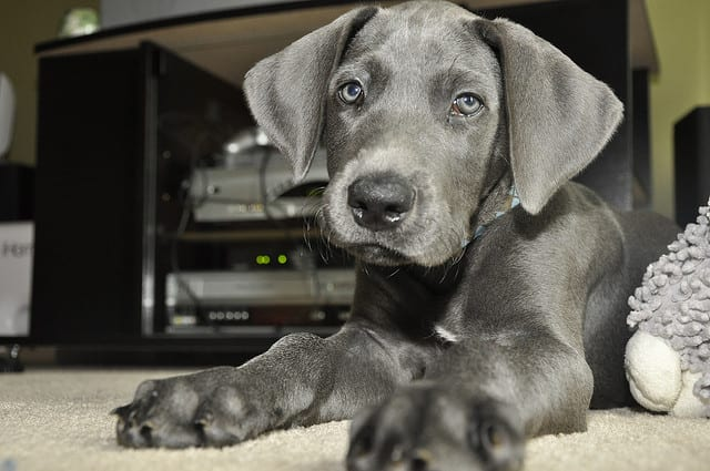 The Great Dane is large but a great breed for a first time owner.