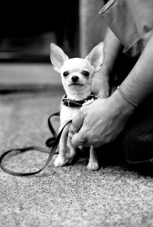 If trained like a dog, rather than a toy, the Chihuahua makes a sweet little companion.