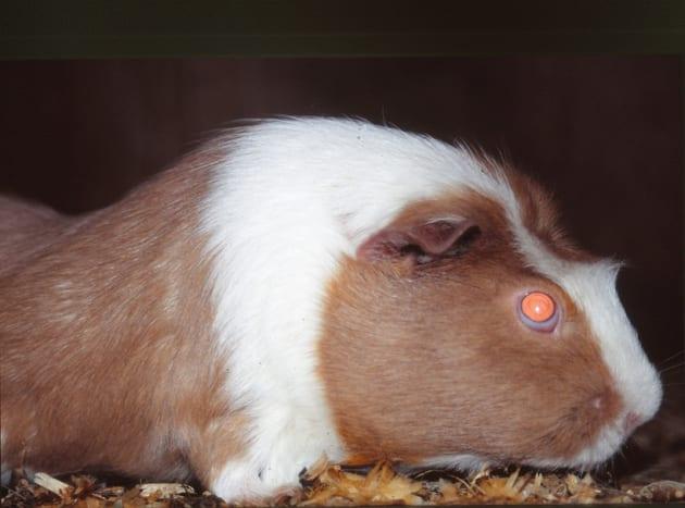 Crested Dutch guinea pig.