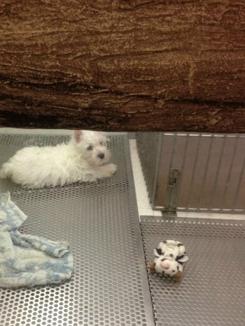 A frustrated westie pup  in a cage.