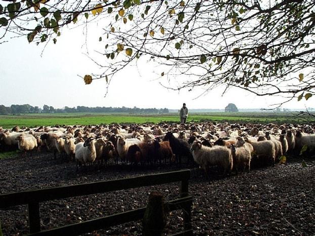 Big herd of Drenthe Heath Sheep