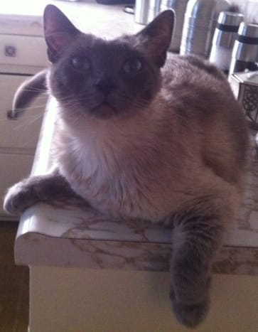 Cat lounging on a counter kitchen counter.