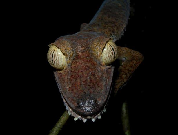 Giant Leaf-tailed Gecko (Uroplatus fimbriatus), Nosy Mangabe, Madagascar