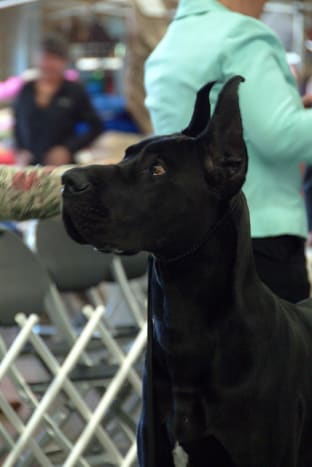 A Great Dane adult.
