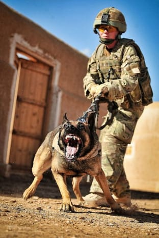 The US Army uses several breeds, but the German Shepherd Dog is the most popular.