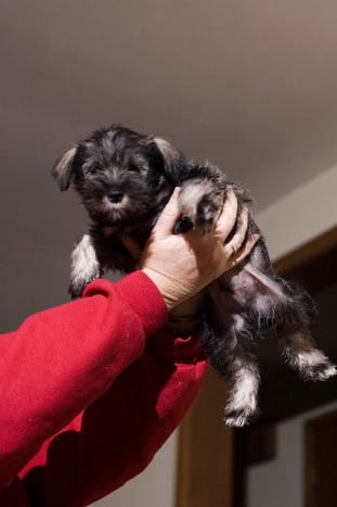 A Miniature Schnauzer can grow up to be a great watchdog.