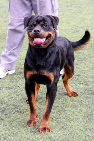 The Rottweiler is a good watchdog and also great as a guard.