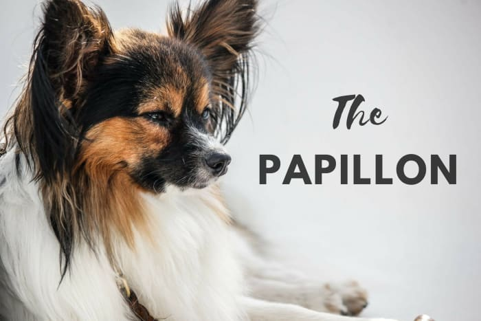 Papillons are not able to do everything. They just think they can.