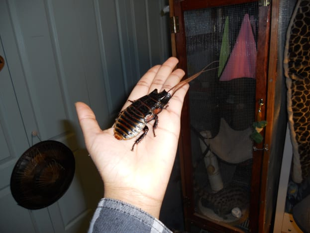Hissing cockroach on my hand