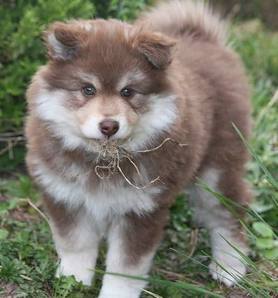 The Finnish lapphund is one of the dog breeds that looks similar to a wolf.