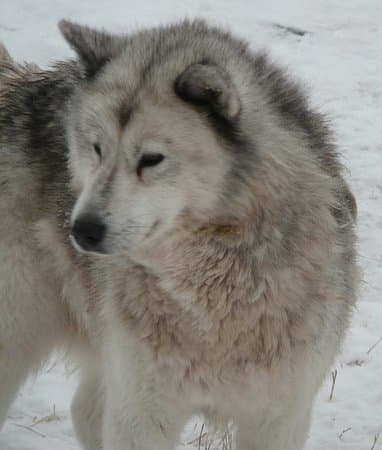 The Canadian Eskimo dog.