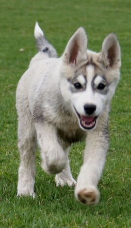 The Siberian husky is a popular dog breed with well-known markings.