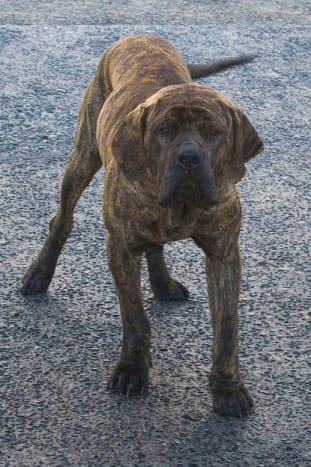 The Fila Brasileiro is one of the large dog breeds from Latin America and can be a great guard dog.