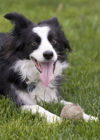 A tired, happy Border Collie.