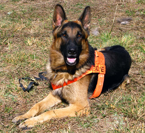 A search and rescue dog. This is an area where a German Shepherd Dog gets to show his loyalty.