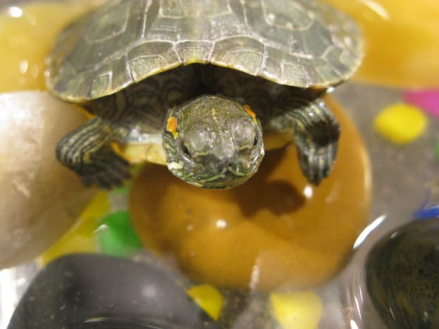 Turtles need more than a fish bowl and food pellets to be healthy.