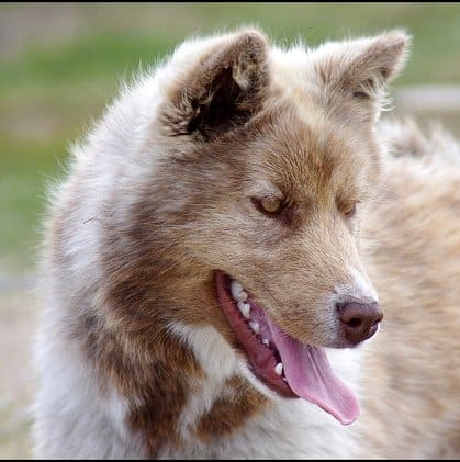A Canadian Eskimo Dog.