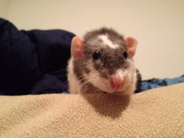 top-10-reasons-to-have-rats-as-a-pet