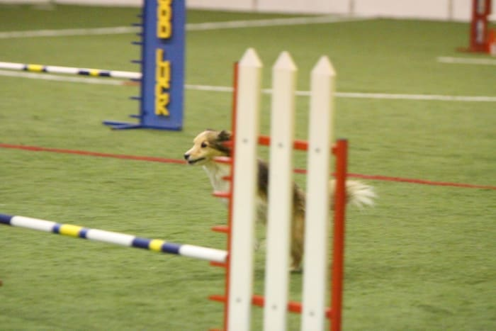 how-does-a-dog-use-its-tail-in-agility-and-canine-sport