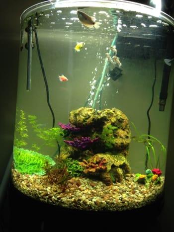 Two fully grown goo tetras in a thirty gallon aquarium.