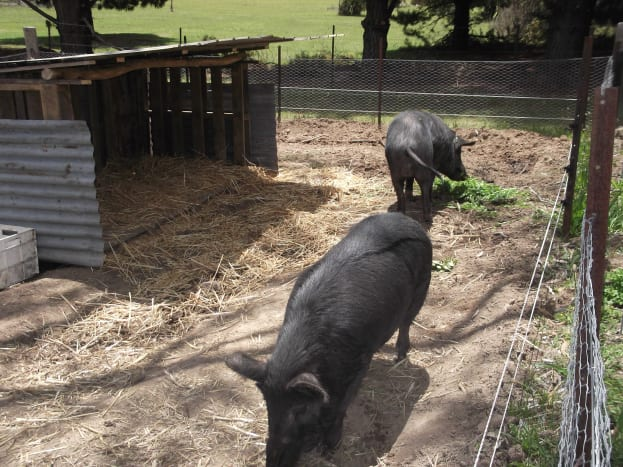 The pigs have their own pen, linked to our large vegetable gardens to the right. During the summer growing period, they stay in their own yard area and we toss grass and vegetables over the fence.
