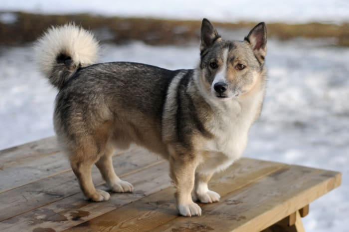 Swedish Vallhund (ancestor of the Cardigan Welsh Corgi)