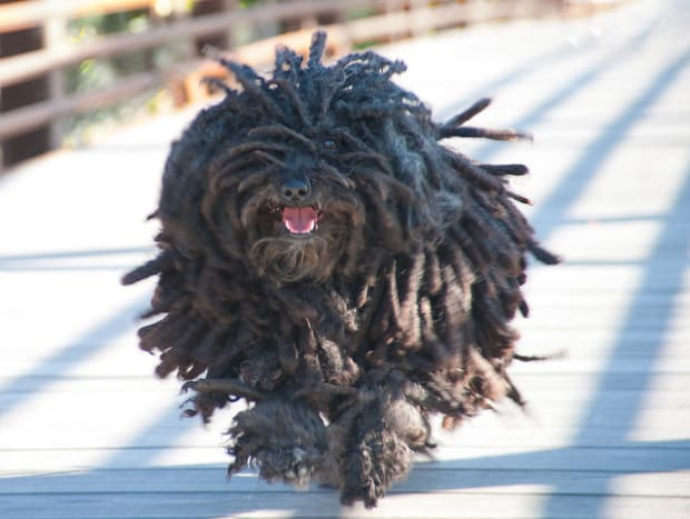 A Puli with correctly groomed cords is great to see when on the run.