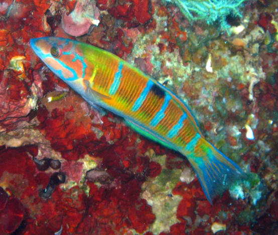 There are 600+ varieties of wrasse in amazing colors.