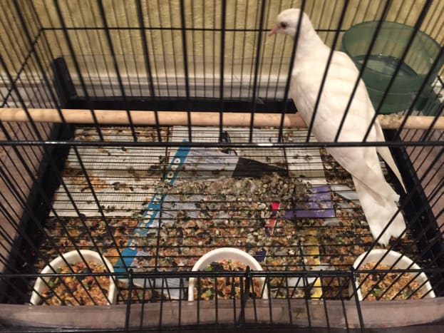 A cage with a single Java Dove after one week