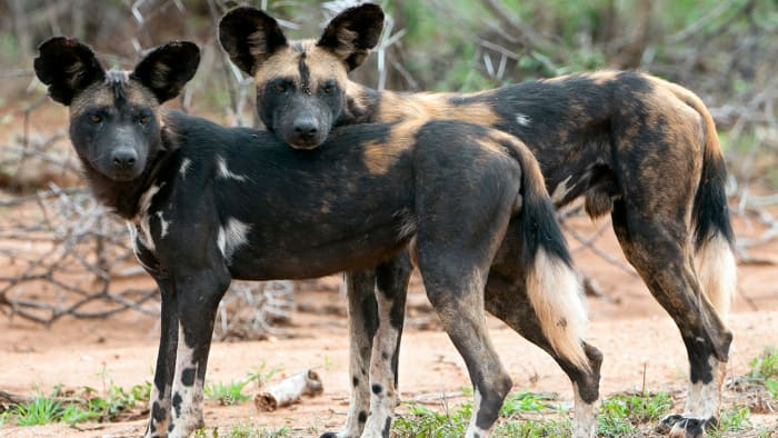top-10-most-dangerous-wild-dogs-yet-not-domesticated