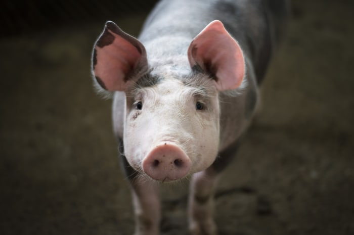 Though they have the common stigma of being filthy, pigs are actually quite clean animals, with most of the same endearing qualities as dogs.