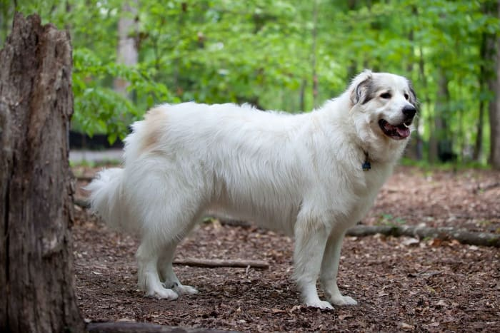 Pyrenees tend to have good temperaments and are often kept as family pets.