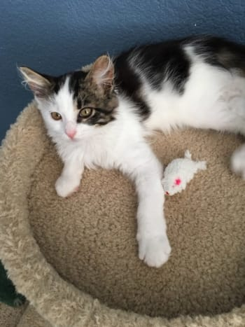 Adorable kitten—relaxed with his little mouse toy—a beautiful, sweet little kitten being fostered prior to adoption. He was put down for testing positive on the day he was to have his neuter surgery.