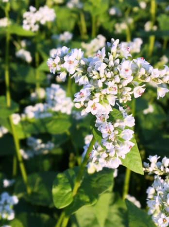 Beautiful buckwheat flower