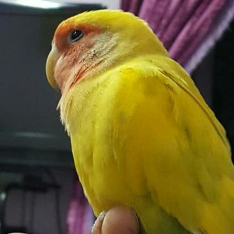 Picture of my pet lovebird Mumu who is undergoing a molt currently. Notice his wing which has a uniform color.