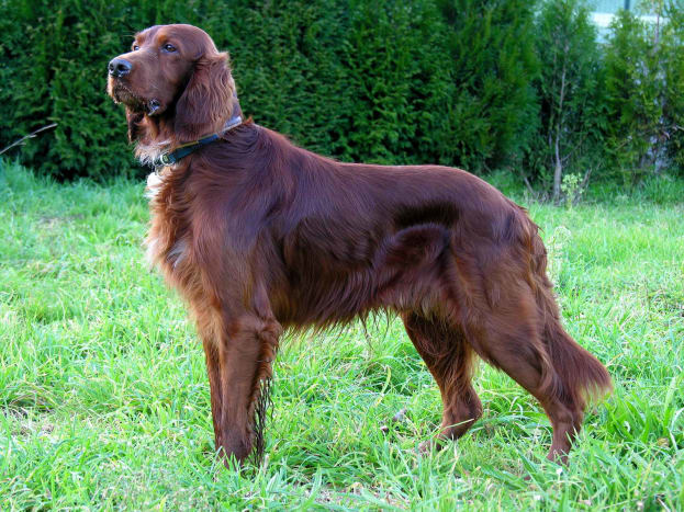 Irish Setters are tall but not too heavy, so they are easy to walk.