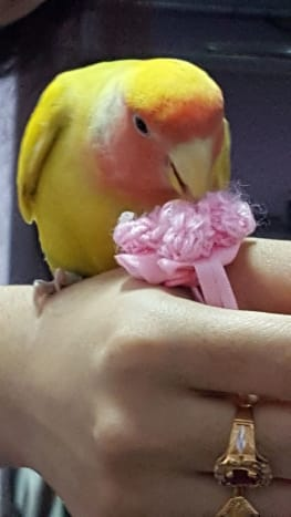 My lovebird Mumu playing with a hair tie.
