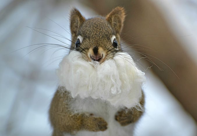 Santa, where's your hat?  (This little guy is actually trying to stuff bamboo cotton bedding into his mouth.)