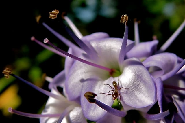 Ant on a native flower, Melbourne, Australia