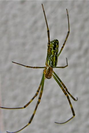 Common spider, Fukushima, Japan
