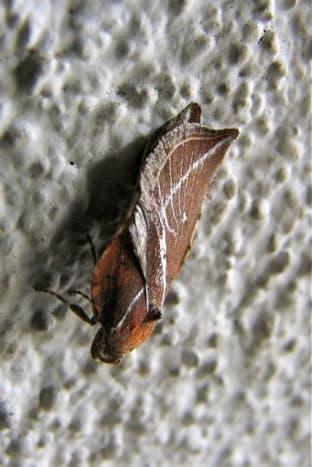 Moth in the daytime, Korumburra, Australia
