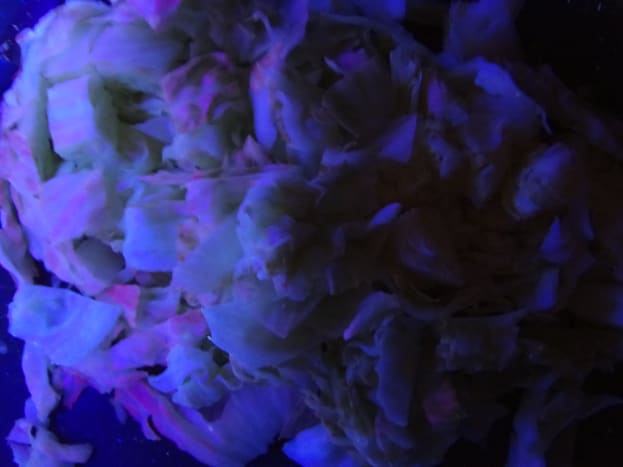 Freshly cut lettuce will typically have a pink/red tint under the black light.
