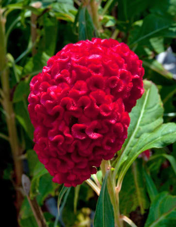 The gorgeous Cockscomb is extremely popular during Chinese New Year in Singapore.