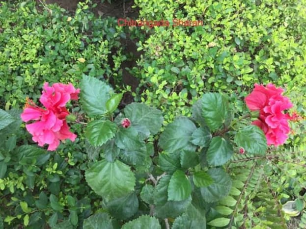 Hibiscus Flowers Alongside Curry Leaves and Coriander