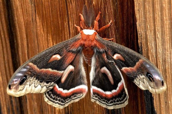 A cecropia moth on a barn door