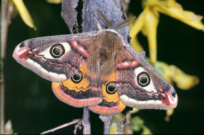 A Male Saturnia pavonia, or Small Emperor Moth