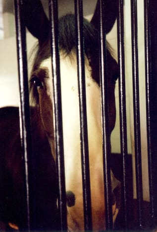 Up close and personal with a Clydesdale named Billy at Grant's Farm