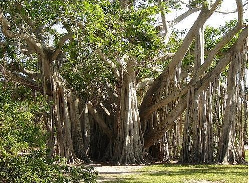 gorgeous Banyan tree at Hugh Taylor Birch State Recreation Area