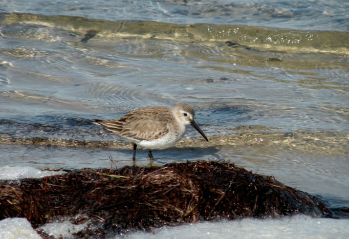 Sanderling on Padre island National Seashore.