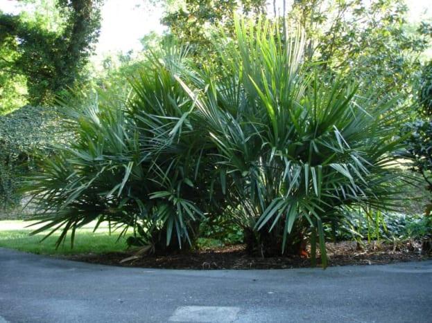 Oklahoma Palm Trees: The Needle Palm